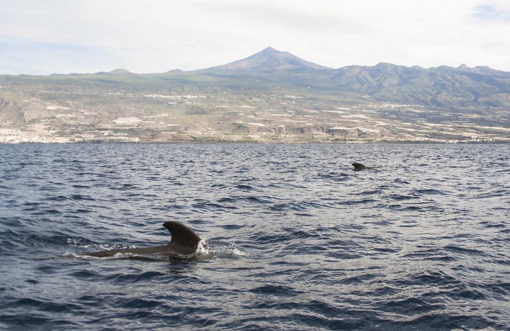 płetwy wielorybów wynurzające się z oceanu, w tle wulkan Teide