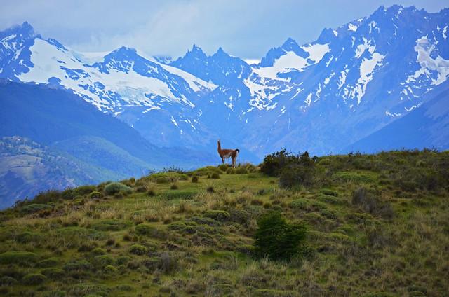 Guanaco, Parque Patagonia, Patagonia, Chile