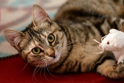 Sahara, gatita parda con toques naranja preciosa y mimosona esterilizada, nacida en Agosto´17 en adopción. Valencia. ADOPTADA.  40466688381_3010c529d6