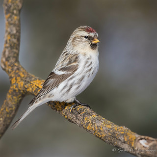 Hoary Redpoll | by Turk Images
