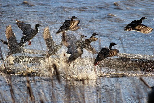 Photo of ducks taking off from the water