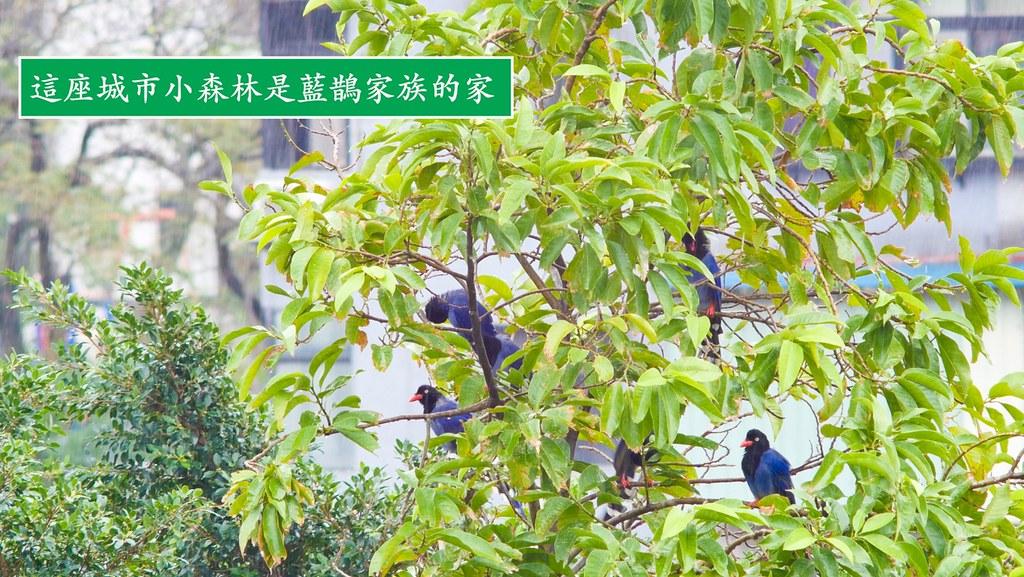 這座城市小森林是藍鵲家族的家。圖片來源:作者提供。