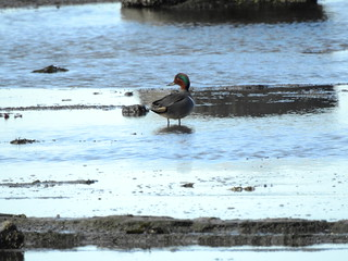 february 9 2018 14:39 - Green-winged Teal | by boonibarb