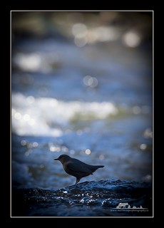 American Dipper | by the_coprolite