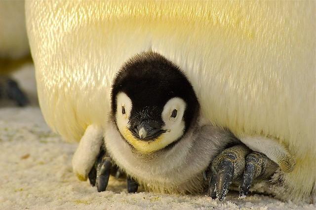baby-penguin