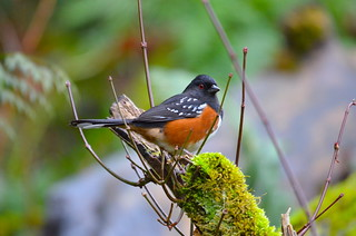 Spotted Towhee | by Neal D