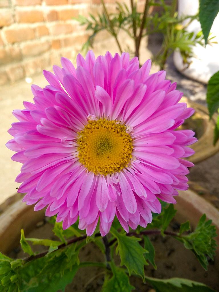 Pink Aster Flower Name Pink Aster Taken By Sanu Dutta T Flickr