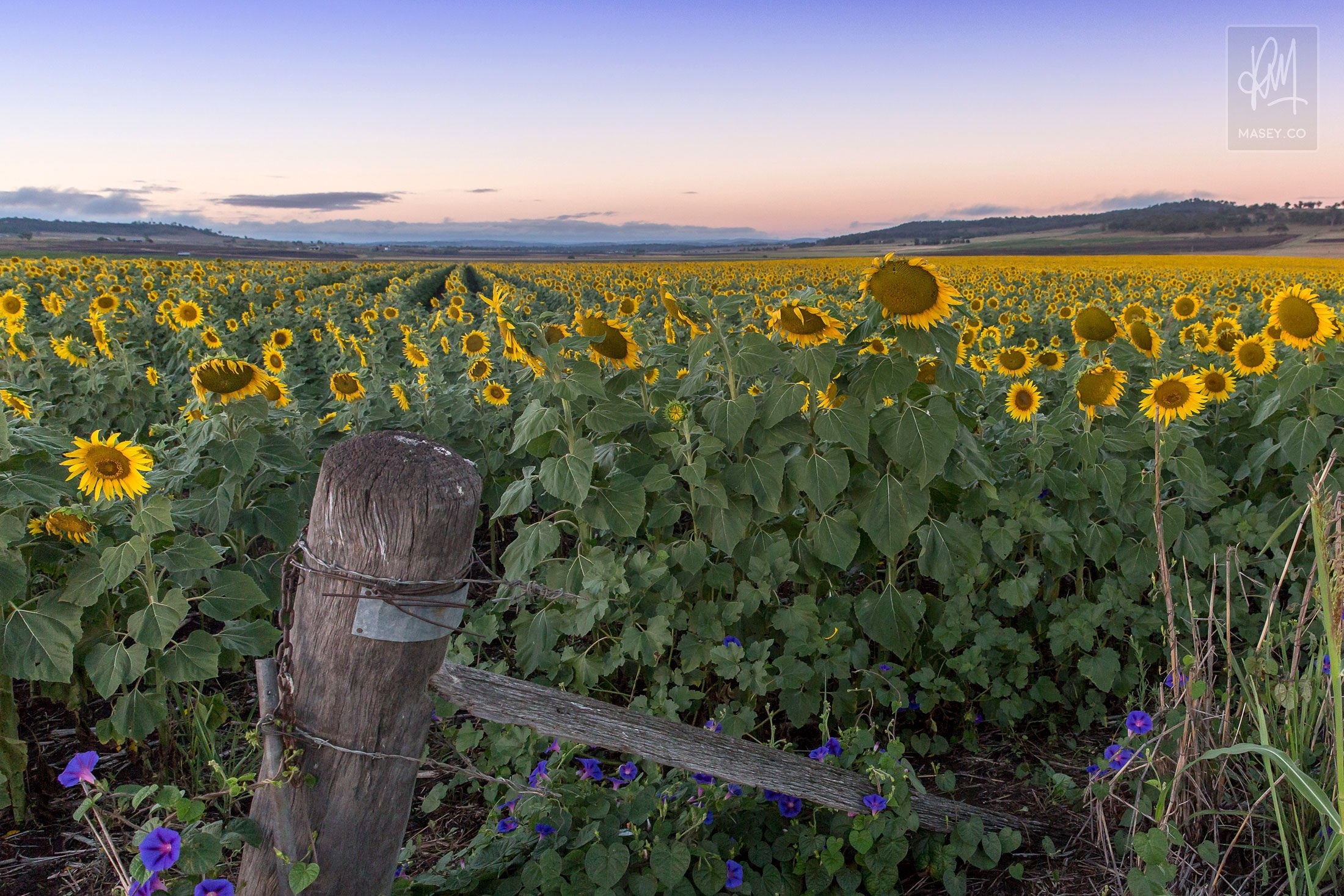 Rows of sunflowers following the last striking rays of sun to the west
