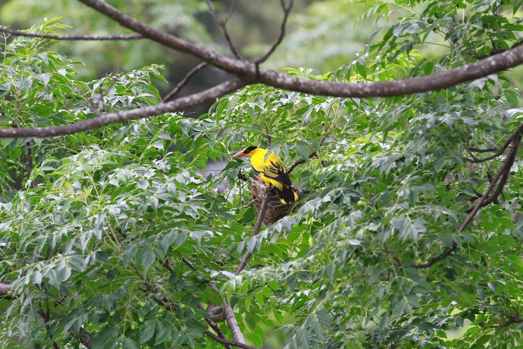 黃鸝為瀕臨絕種(I)野生動物。圖片來源:蘇俊榮