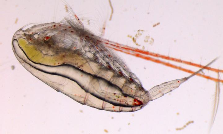 北極哲水蚤 Calanus glacialis。Malin Daase, UiT -- The Arctic University of Norway