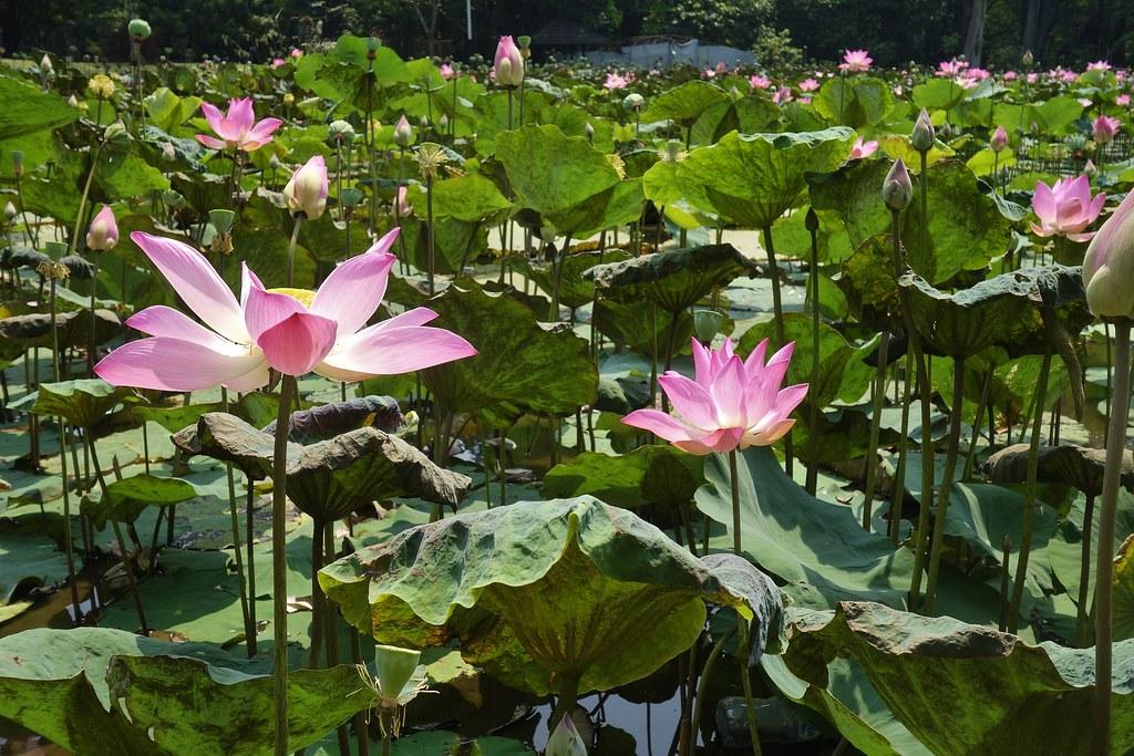 Indonesien Im Botanischen Garten Von Bogor Seerosenteich Flickr