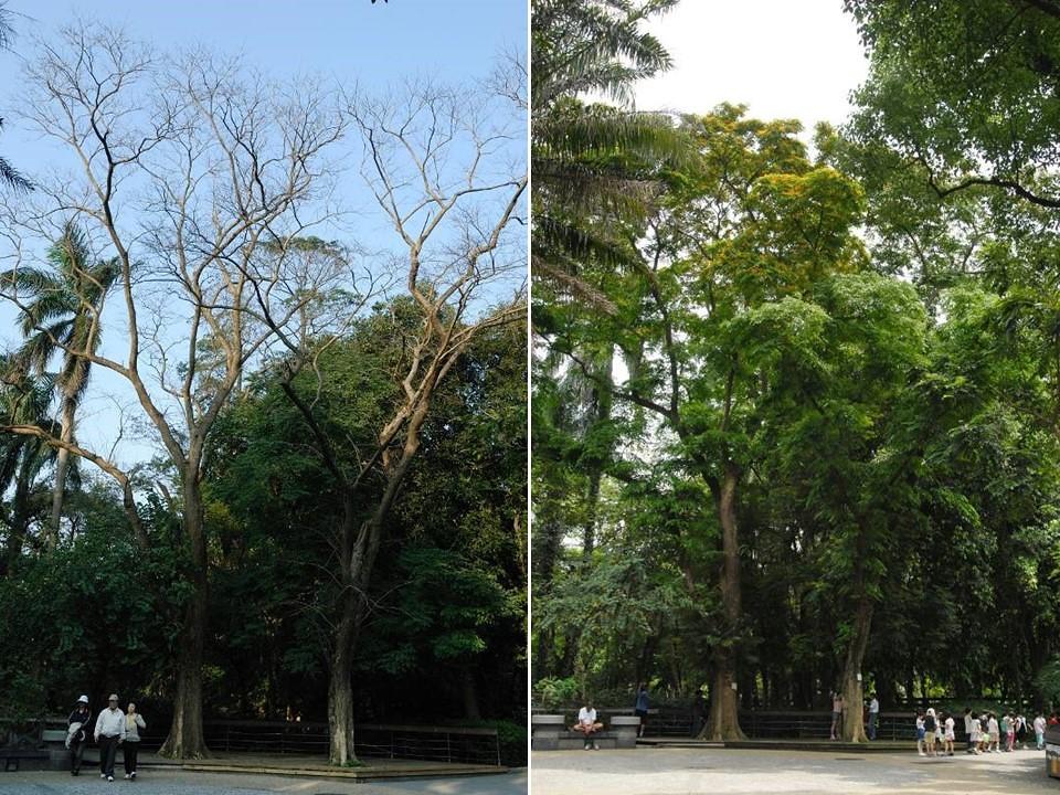 台北植物園內兩株台北市政府列管之受保護樹木,左圖為冬景,右圖為春景。圖片來源:林試所