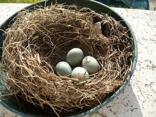 nido di merlo con uova