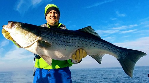 Man holding large striped bass
