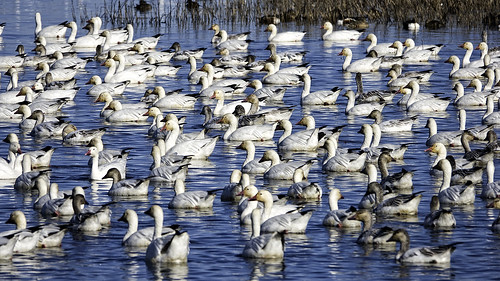 Snow Goose Convention | by lennycarl08