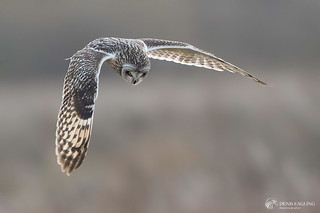 Short - eared owl | by http://deniseagling.photography