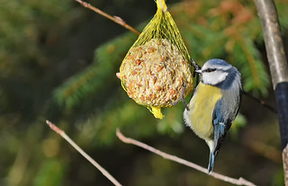One of my feeders. Lunch for Blue Tit and other birds. Winter, Finland | by L.Lahtinen (nature photography)