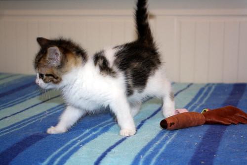 Alina, gatita blanca y parda dependiente y dulce nacida en Noviembre´17, en adopción. Valencia. ADOPTADA. 24309031277_d854863e04
