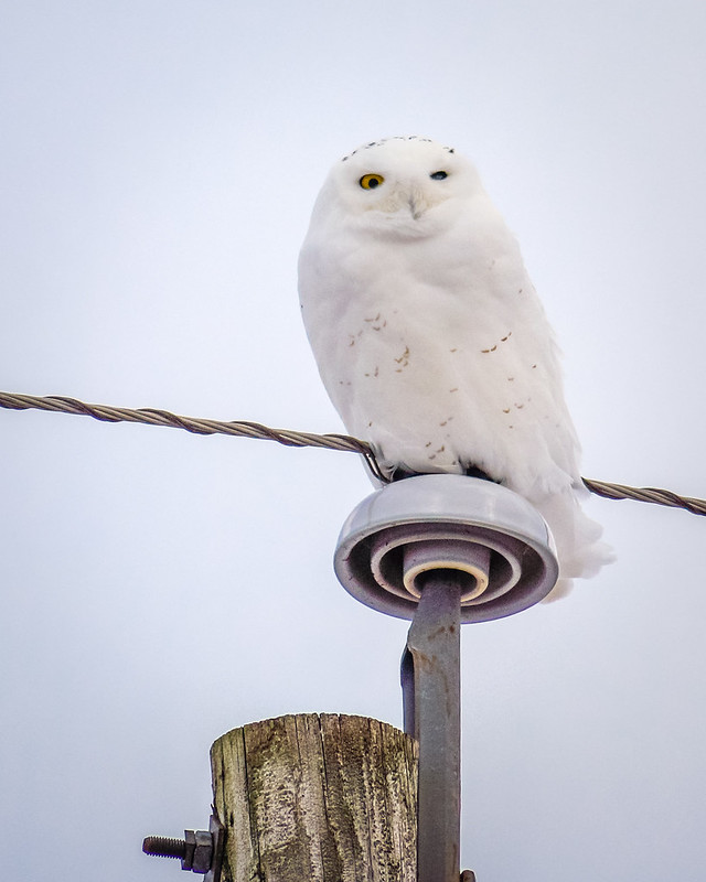 Snowy Owl, Owl, White, Bird