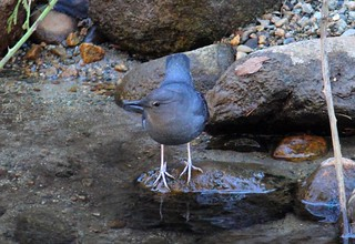 American Dipper | by Jewill16