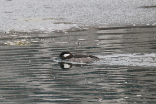 Bufflehead - Female | by Frankyboy5