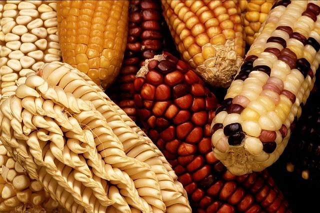 Evolution of High Carb Low Nutrient Corn
