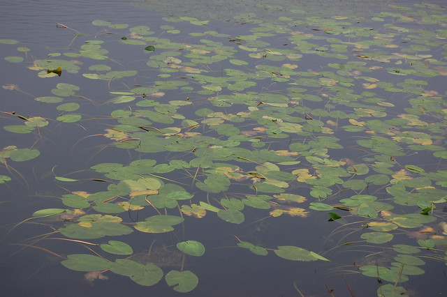 Lily pads on a dark lake