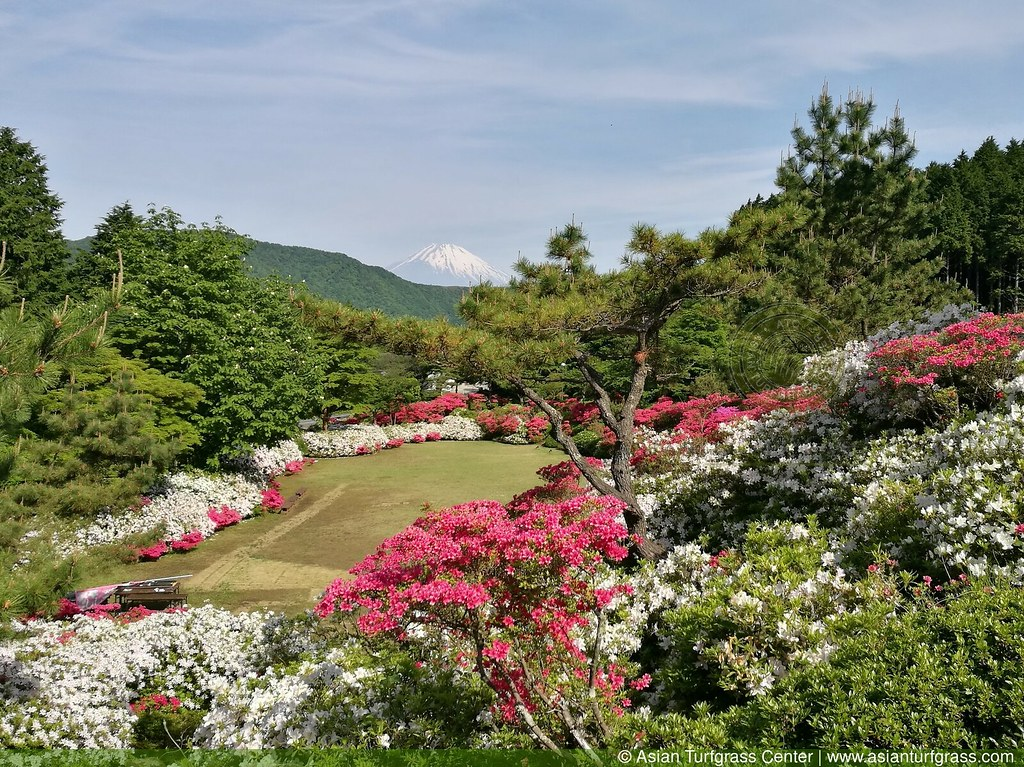 noshiba lawn, rhododendrons, and Mt. Fuji