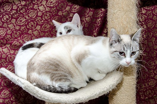 Cuca, gata siamesa tabby tímida y dulce esterilizada, nacida en Agosto´17, en adopción. Valencia. ADOPTADA. 38659704314_cd72b45252
