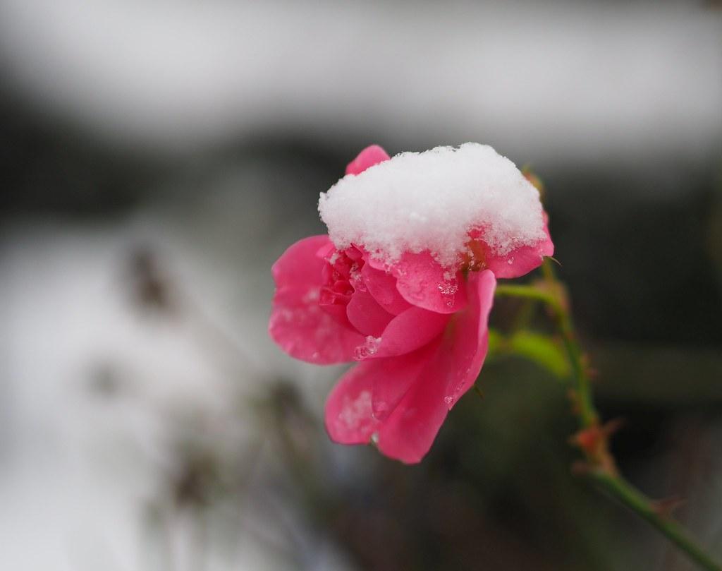winter rose | Rose. und Schnee. | Michael Mueller | Flickr