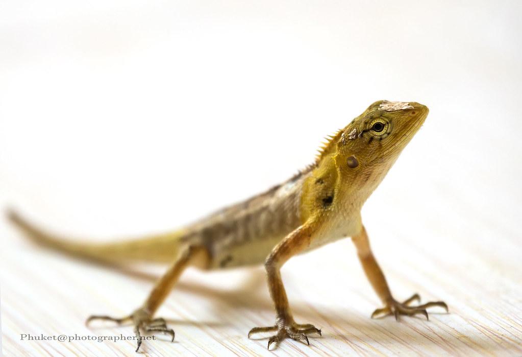 S My New Friend   Oriental Garden Lizard XOKA3677s   By Phuketian.
