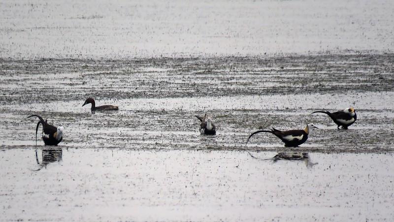 成龍濕地上出現俗稱「凌波仙子」的水雉。來源:成龍濕地三代班,http://wetlandcenter.blogspot.tw/2016/07/blog-post_28.html