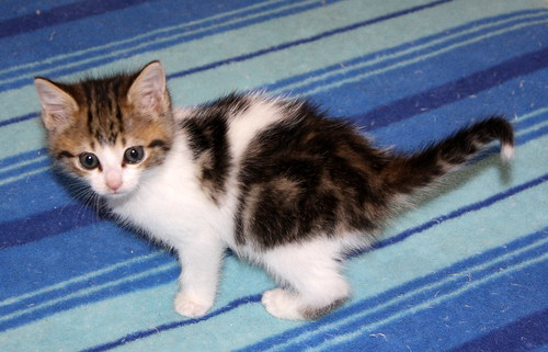 Alina, gatita blanca y parda dependiente y dulce nacida en Noviembre´17, en adopción. Valencia. ADOPTADA. 27392516799_311756a9b1