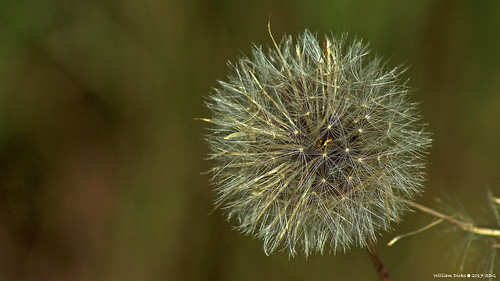 Dandelion | by wdicks