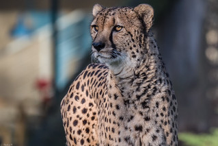 Gepard - Allwetterzoo Münster | by Manfred M.