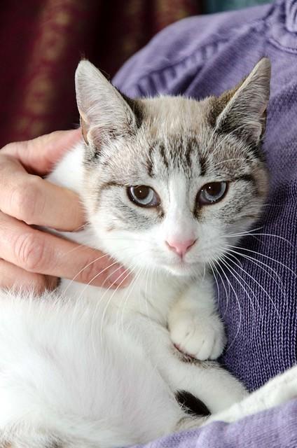 Cuca, gata siamesa tabby tímida y dulce esterilizada, nacida en Agosto´17, en adopción. Valencia. ADOPTADA. 25498345168_1f9bfea989_z