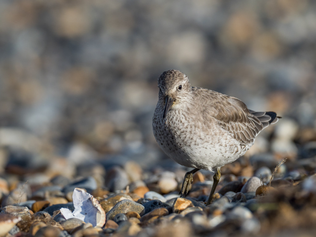Brancaster Beach Guided Walk | Late spring brings much bird activity to the beach and dunes, as migrant waders, Wheatears and Whinchats will be fattening up before heading north to breed. | One Stop Nature Shop at Burnham Deepdale followed by walk at Brancaster Staithe