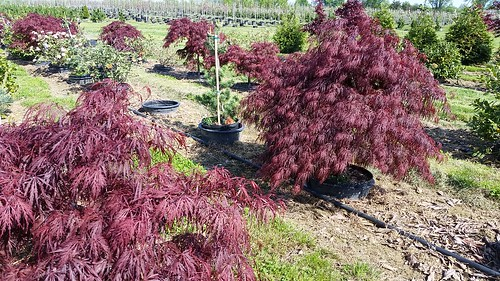 Acer palmatum Crimson Queen 10 gal 3-4' | by Johnson Farms