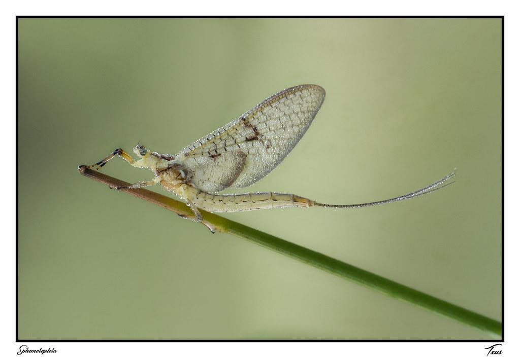"""28.- """"Ephemeroptera"""" - Txus"""