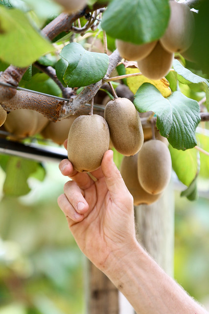 A close-up image of hands inspecting kiwifruit on the vines.
