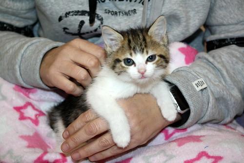 Alina, gatita blanca y parda dependiente y dulce nacida en Noviembre´17, en adopción. Valencia. ADOPTADA. 39139332092_222f7c8d37