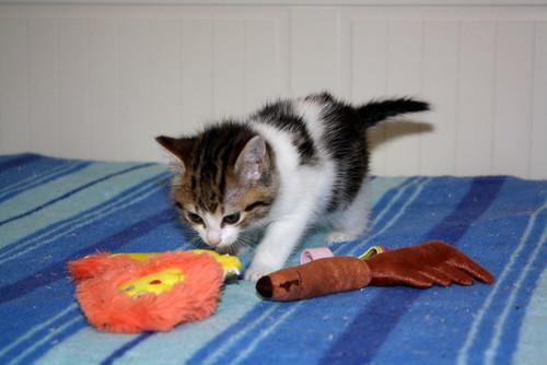 Alina, gatita blanca y parda dependiente y dulce nacida en Noviembre´17, en adopción. Valencia. ADOPTADA. 24309028597_f29afa1809
