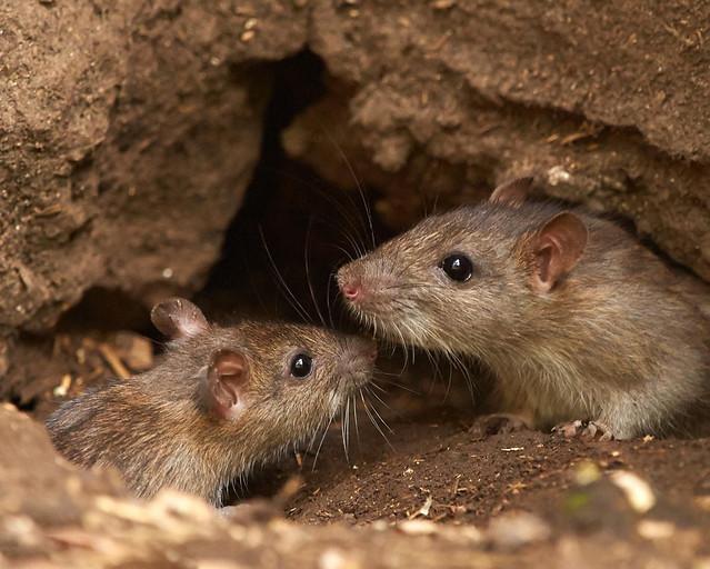 La historia de las ratas que vivimos en Zahara de los Atunes