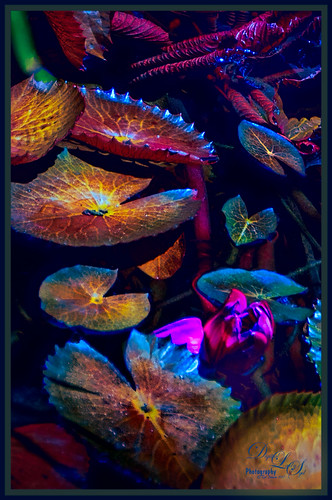 Image of some colorful Water Lilies