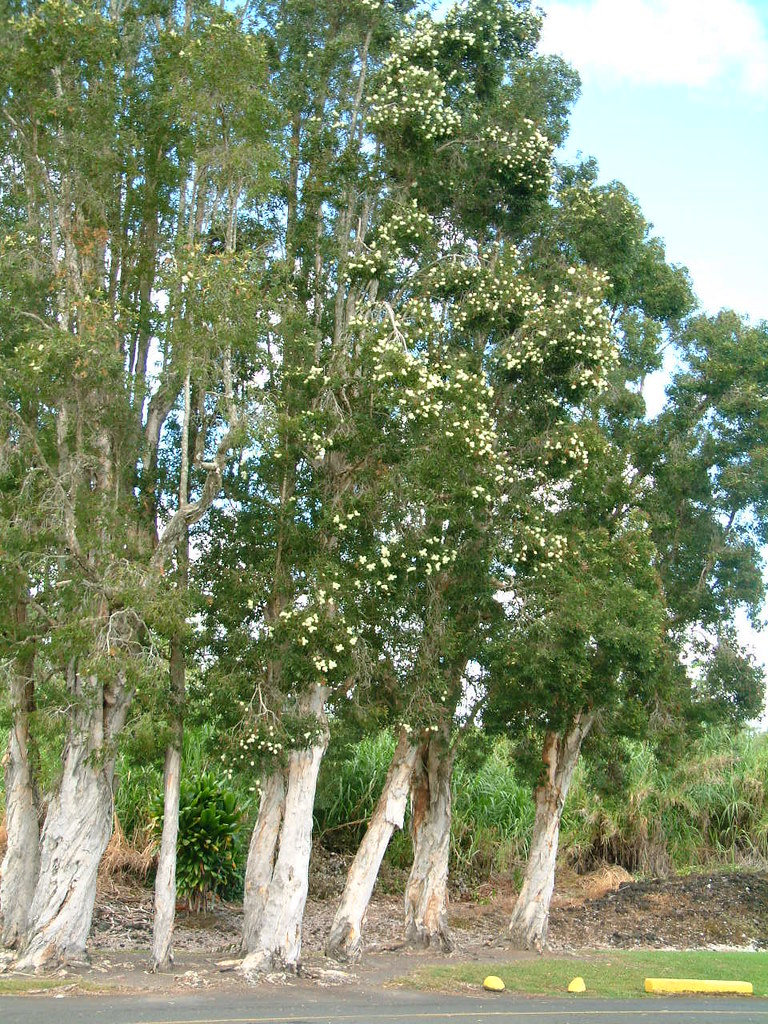 Cajeput Tree: Melaleuca Quinquenervia Windbreak
