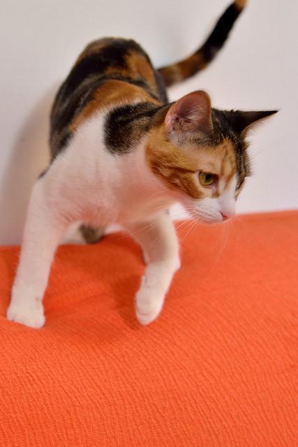 Freya, guapísima y activa gata tricolor jaspeada tabby esterilizada nacida en Mayo´16 en adopción. Valencia. 25892282828_26ca92b209_z