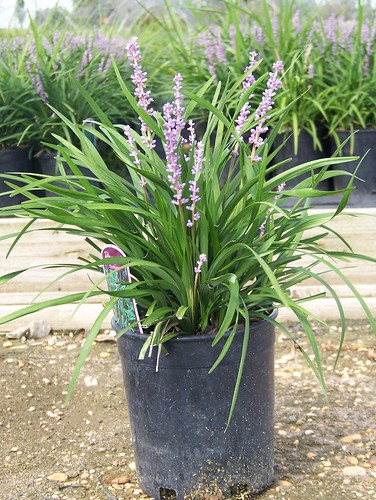 Liriope Big Blue 1 gal | by Johnson Farms