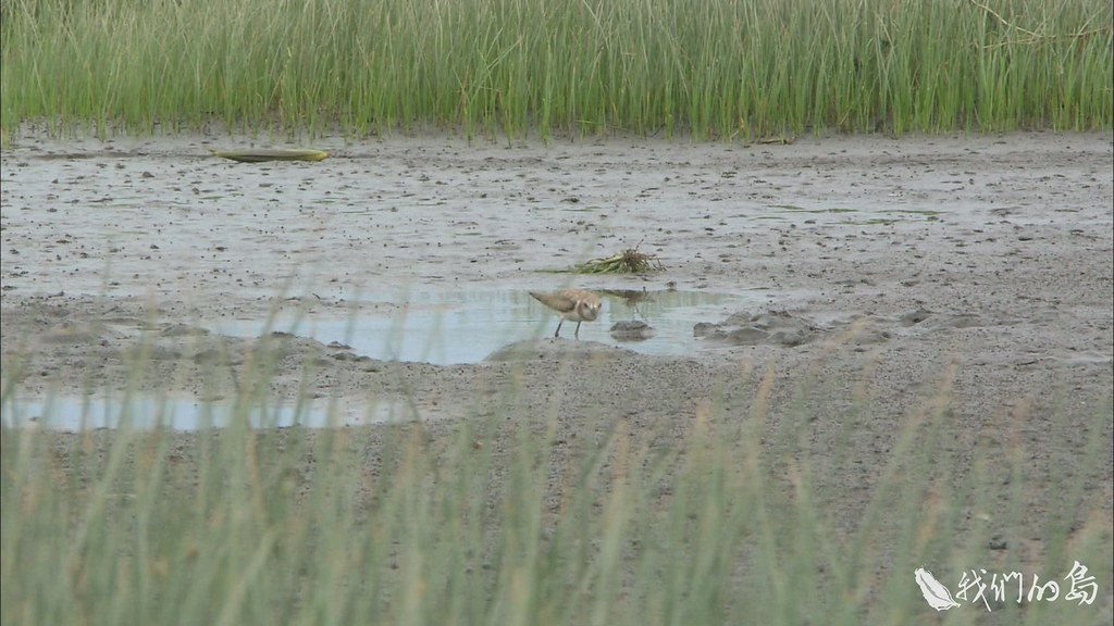 940-3-2雲林莞草造就了高美濕地豐富的生態。