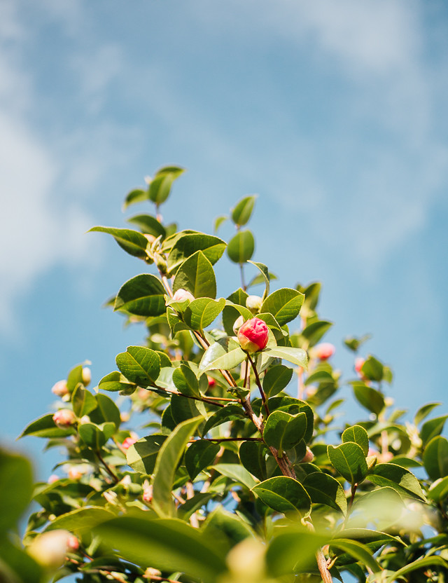 cammelia bush and blue sky
