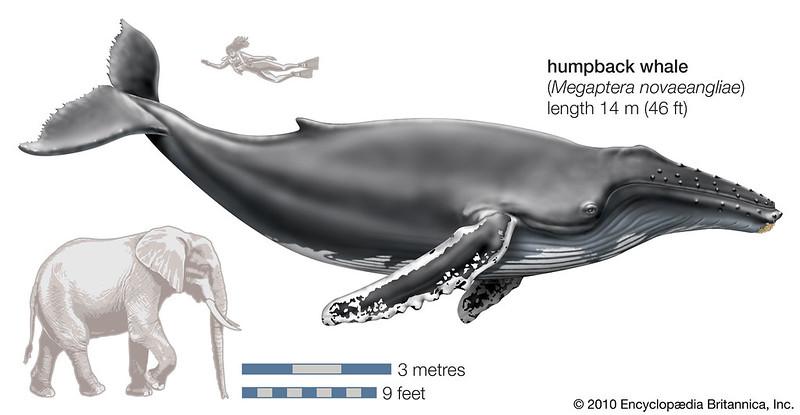 Ballena jorobada Comparación
